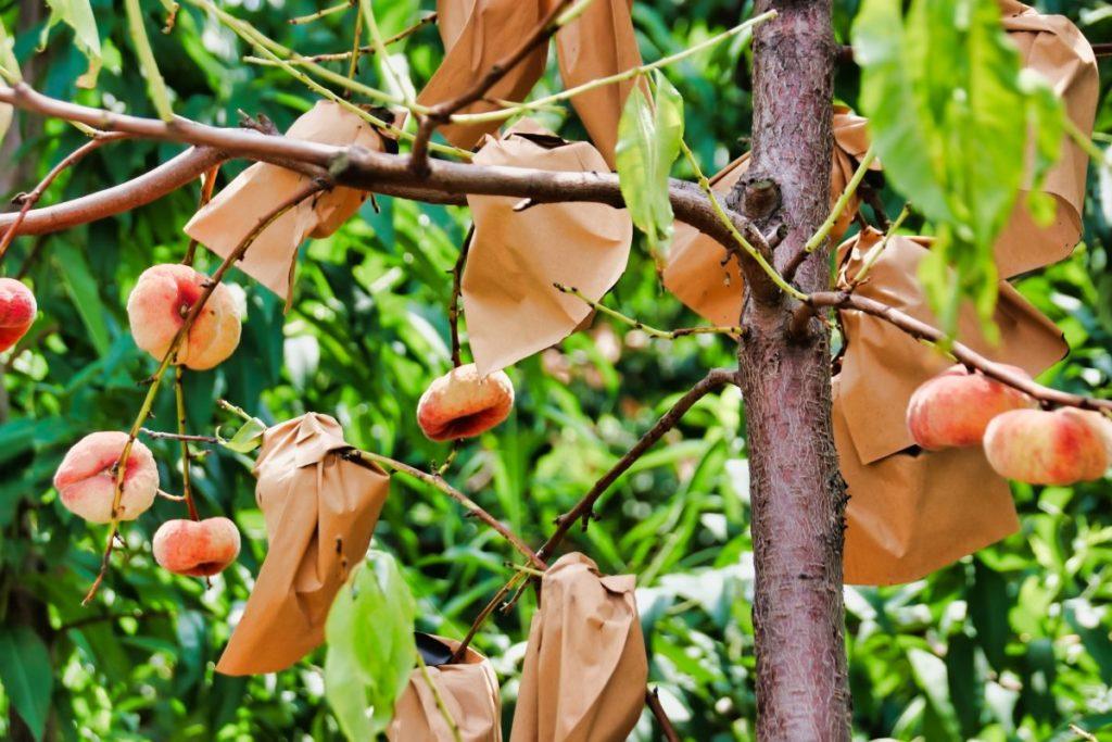 peach-paper-tree ;)